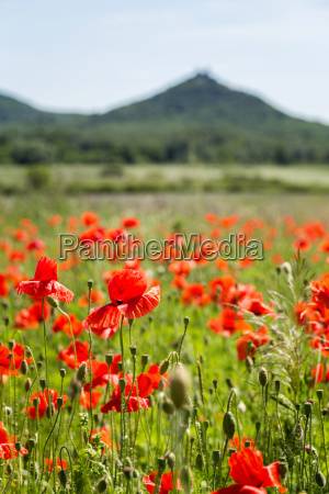 landscape with beautiful poppy field