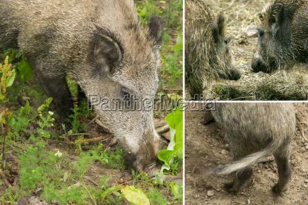 details von wildschweinen kollage