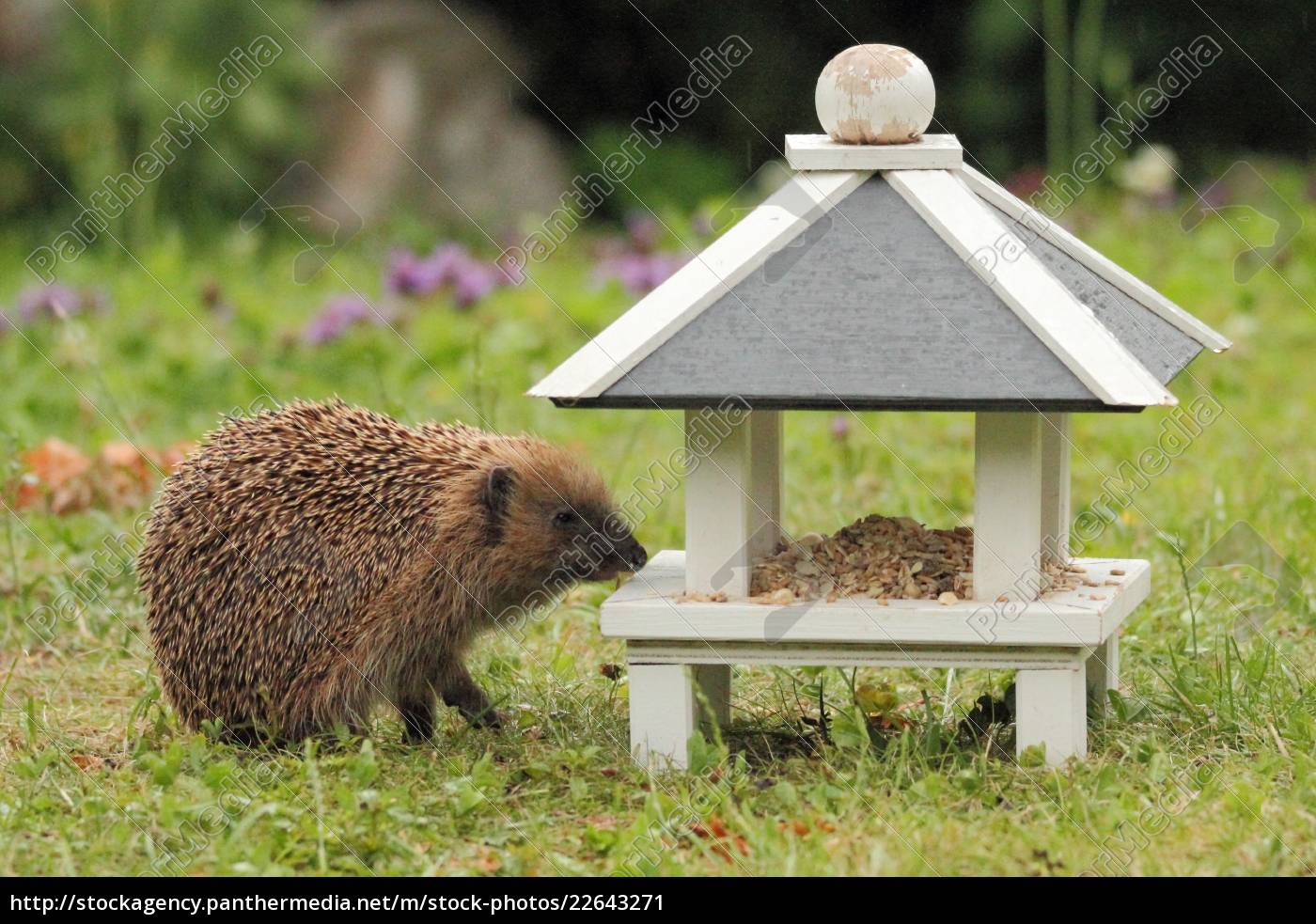 a, hedgehog, as, visitor, of, the - 22643271