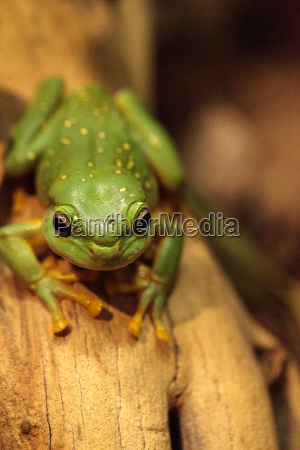 amphibie frosch laubfrosch