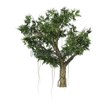 3d rendering banyan tree on white