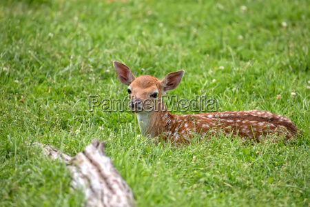 young fallow deer resting in a