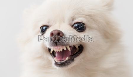 pommerschen hund bellen