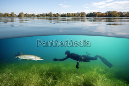 diver and northern pike in a