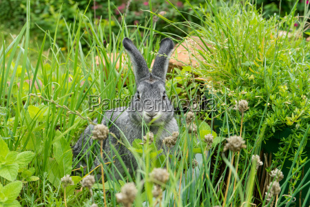 a gray rabbit sits in a