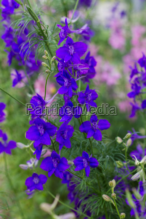 blue flowering blue monkshood