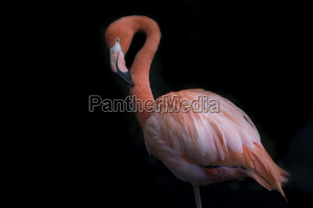 pink flamingo in