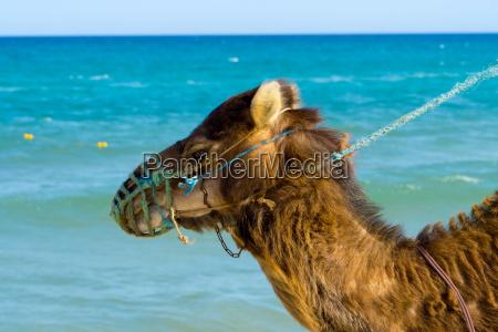 dromedar am strand von tunesien