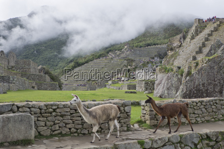 llamas roaming in the inca ruins