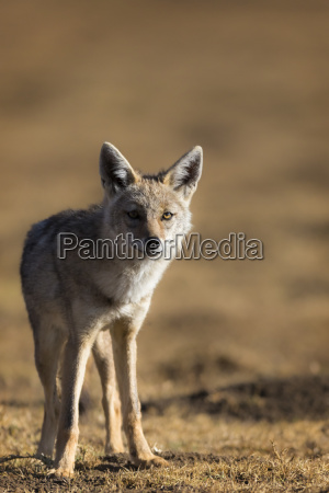 black backed jackal canis mesomelas ngorongoro