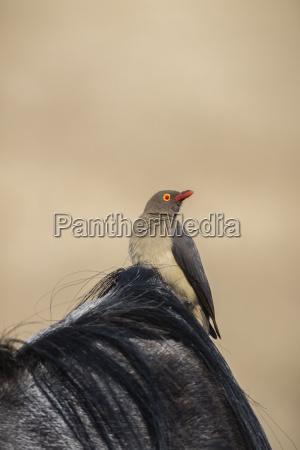 red billed oxpecker buphagus erythrorhynchus ngorongoro