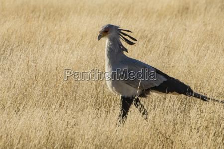 secretary bird sagittarius serpentarius kalahari transfrontier