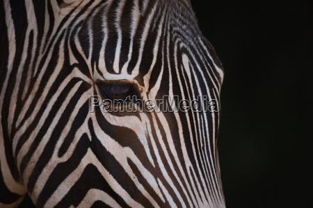 close up of grevy zebra head