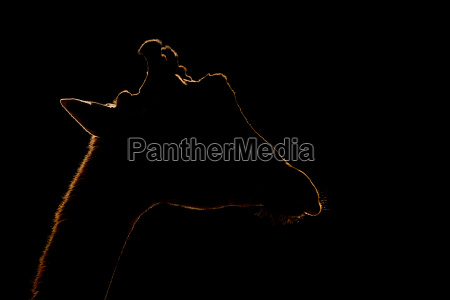 close up of silhouetted giraffe against