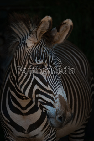 close up of grevy zebra with