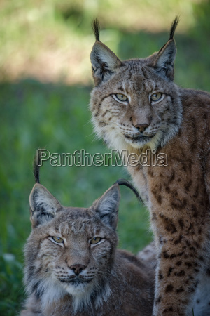 close up of two lynx on