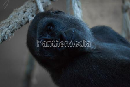 close up of gorilla lying back