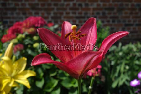 rote und gelbe lilien in einem