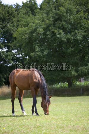 braunes pferd frisst auf weide