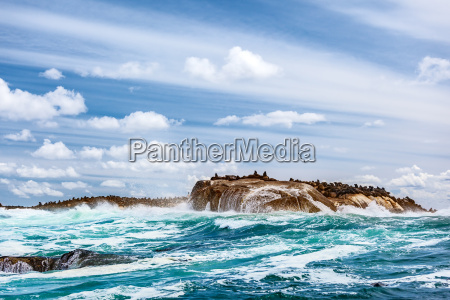 wild seals colony on the stony