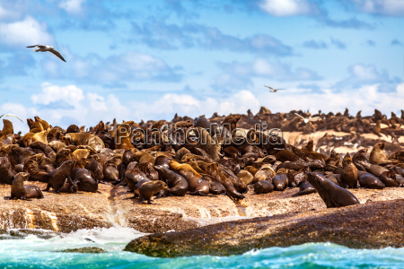 wild seals on the rocks