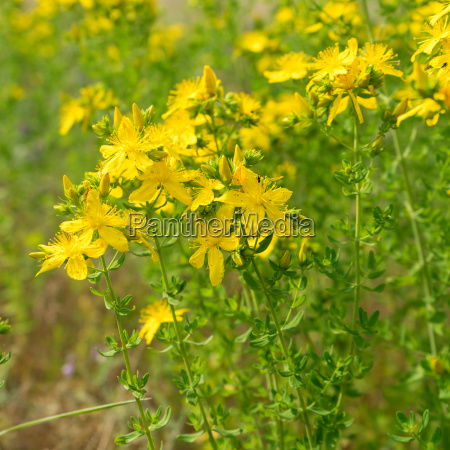 blooming st johns wort on