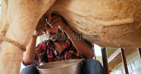 man milking cow in farm livestock