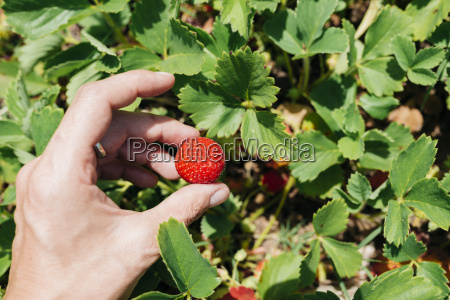 womans hand picking strawberry close up