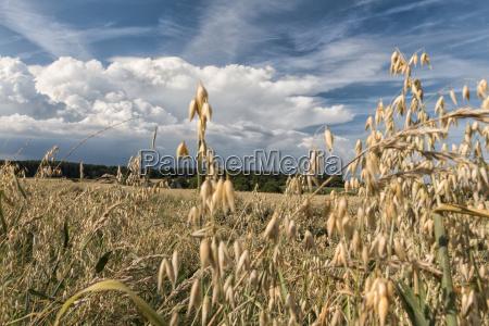 haferfeld, im, sommer, bei, blauem, himmel - 22766519