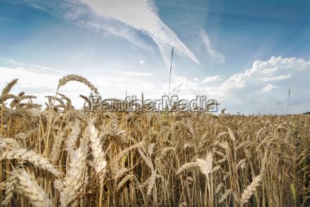 weizenfeld, im, sommer, bei, blauem, himmel - 22766517