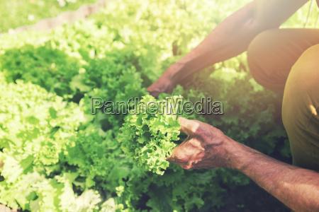 mann holt frischen salat aus gartenbett