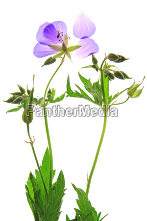 wiesen storchschnabel geranium pratense bluehende pflanze