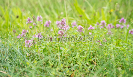 meadow with flowering wild thyme