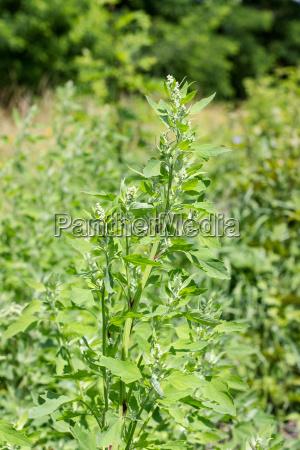 garden orache on the meadow