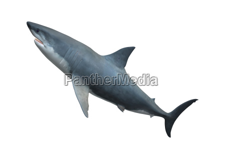 3d rendering great white shark auf