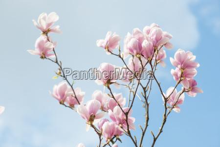 magnolia kwitnaca wiosna