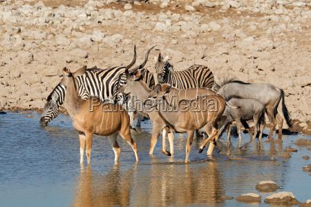 wildlife at etosha waterhole