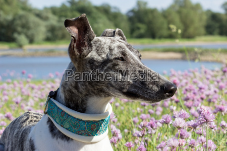 gray white whippet on the river
