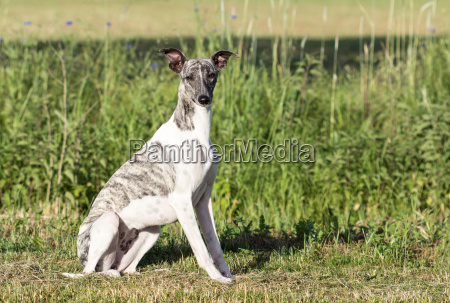 gray white whippet is sitting on