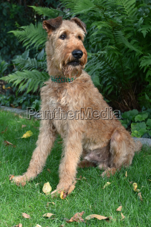 irish terrier ruede getrimmt
