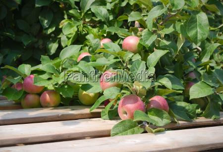 baum holz landwirtschaft ackerbau frucht obst