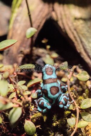 gruene und schwarze gift dart frosch