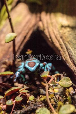 amphibie frosch wildlife suedamerika herpetologie