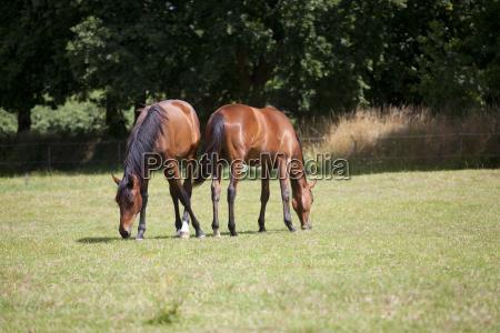 zwei junge pferde fressen gras