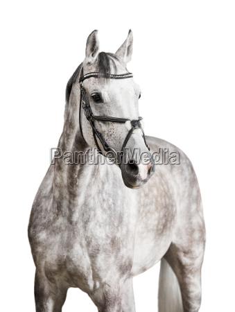 weisses pferd freigestellt