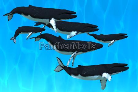 familie buckelwal