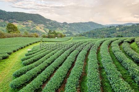 landschaft der gruenen teeplantage