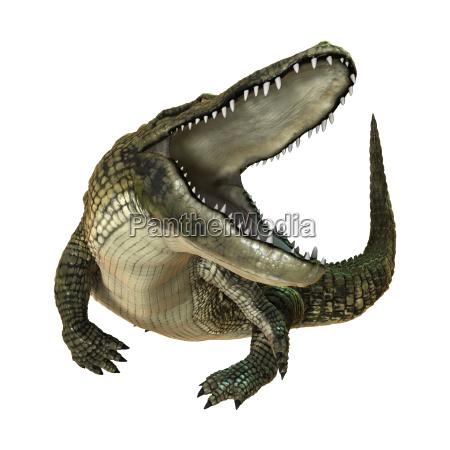 3d das amerikanischen alligator auf weiss