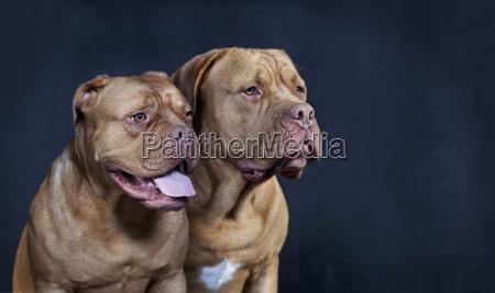 zwei bordeaux doggen