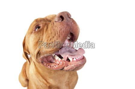 bordeaux dogge kopf freigestellt